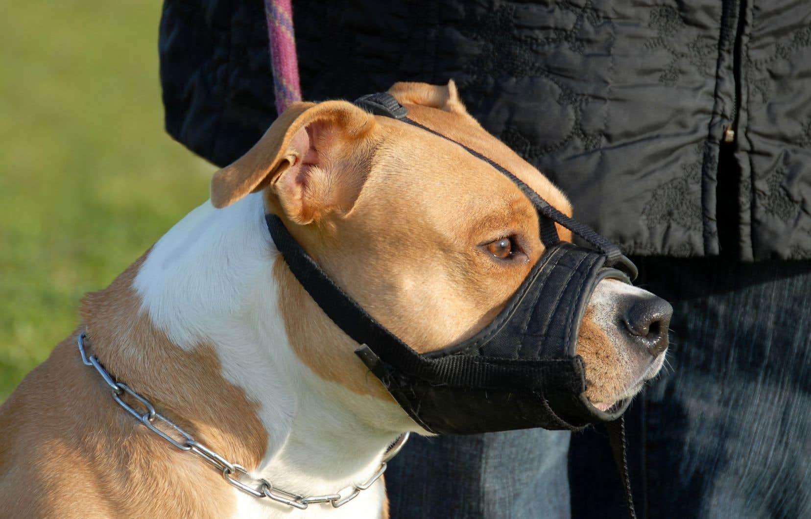 Plusieurs municipalités à travers le Québec ont déjà interdit les chiens de type pitbull.