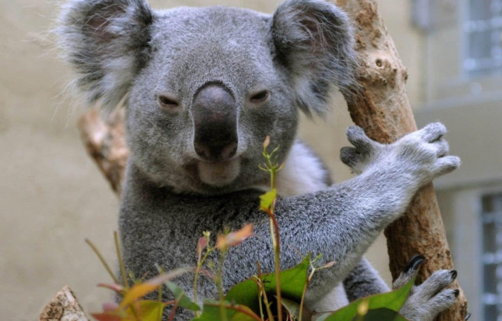 Menacé, le koala est inscrit sur la «liste rouge» de l'Union internationale pour la conservation de la nature, tout comme le renard arctique et le béluga.