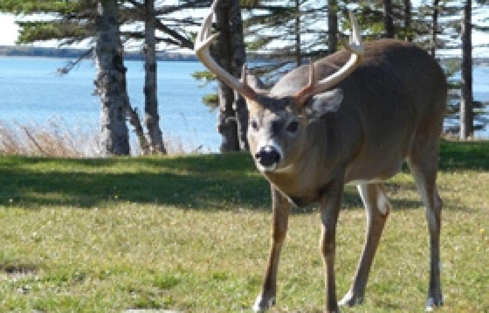 Miser sur la sélection naturelle en protégeant tous les cerfs de plus de huit pointes assurerait une bien meilleure régénération du cheptel.