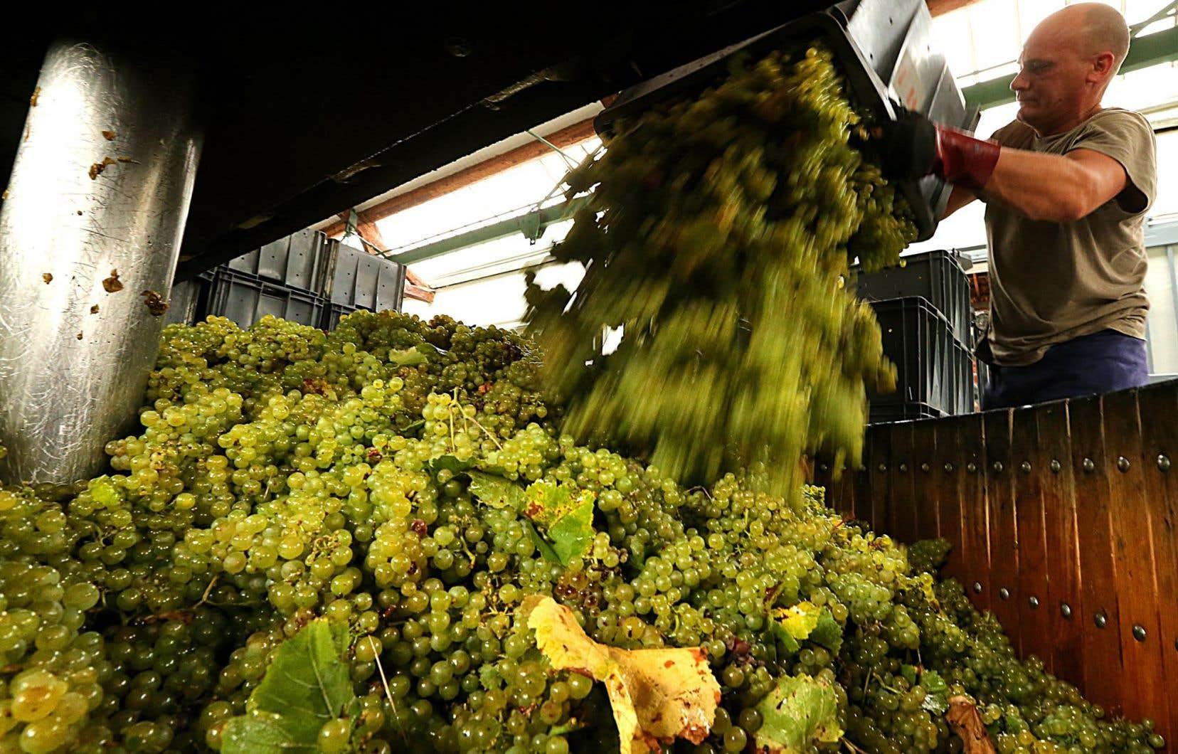 Le processus d'hybridation devrait donner 4000 pépins, qui seront plantés dans les parcelles expérimentales de la Champagne dans six ans.
