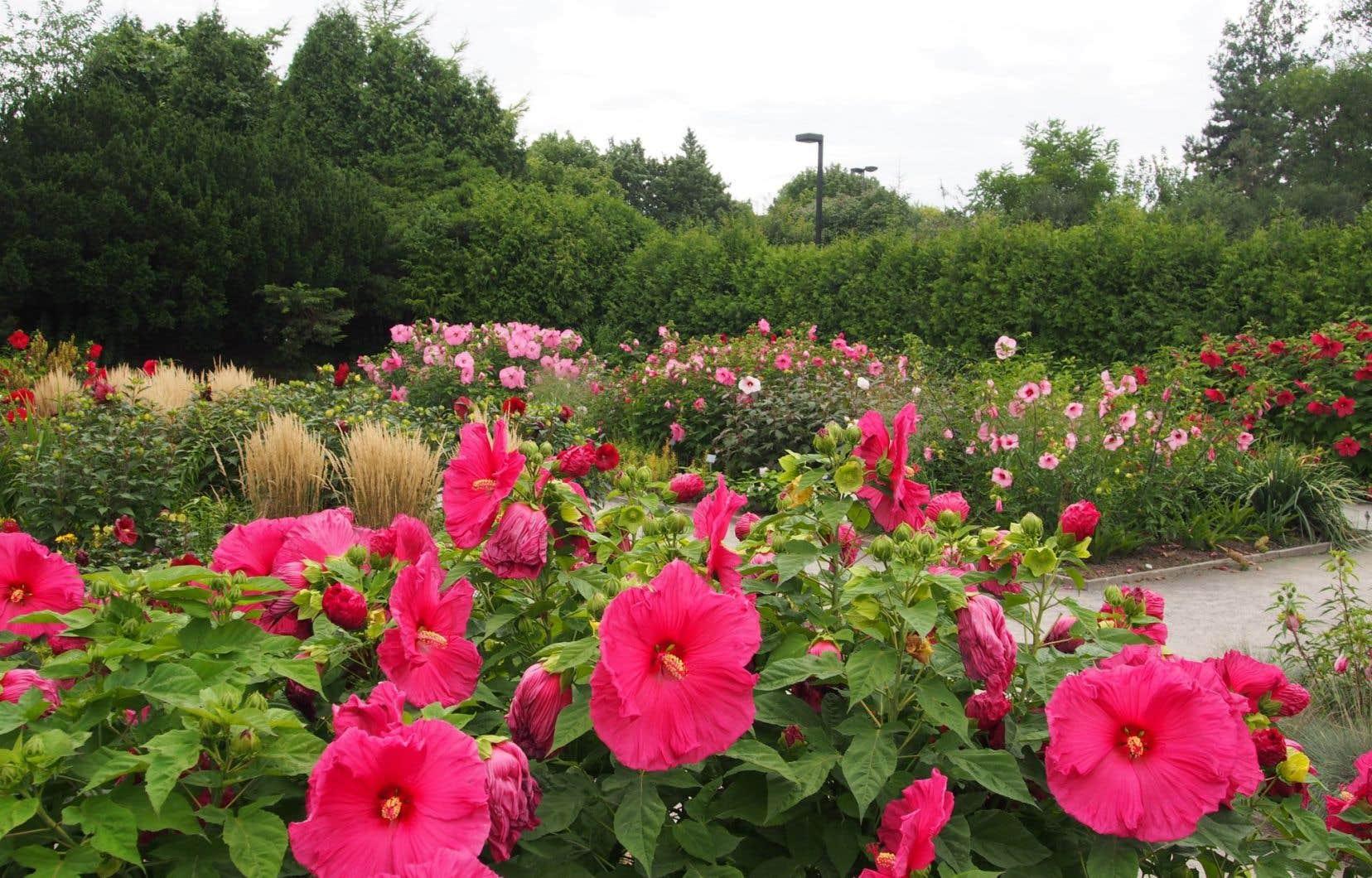 Vivaces les hibiscus le devoir - Terrasse jardin botanique montreal poitiers ...