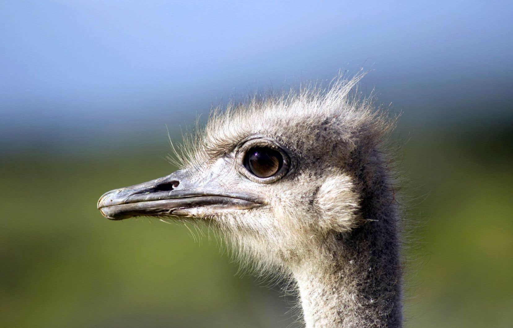 L'oiseau, mésestimé depuis l'Antiquité, est devenu ainsi l'emblème du penchant humain pour le déni, assimilé à une forme de stupidité.