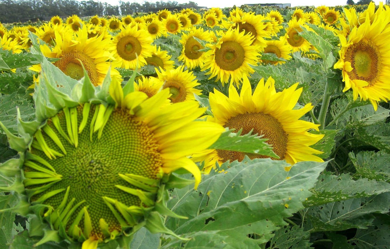 Contrairement aux jeunes plants qui suivent la course du soleil par héliotropisme, les fleurs des tournesols matures ne changent pas d'orientation et font toujours face à l'est.