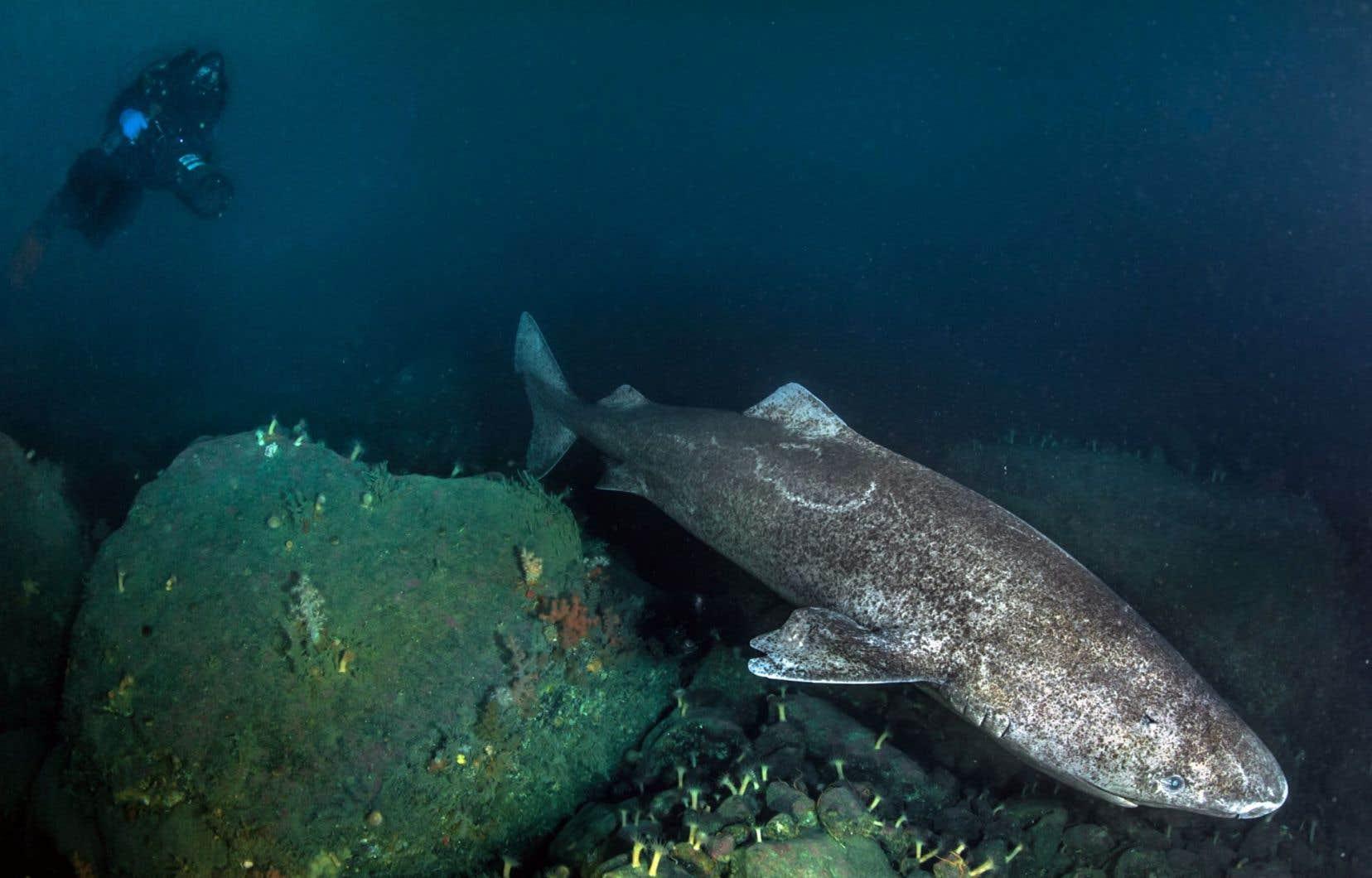 La durée de vie moyenne des requins du Groënland est d'environ 272 ans, ont estimé les auteurs de cette étude.