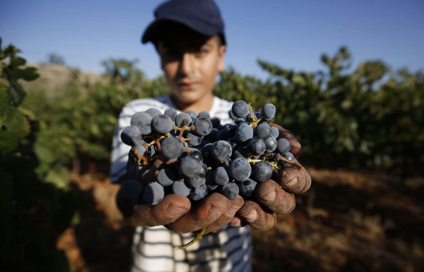 Les vignes couvrent près de 5% des terres cultivées de Cisjordanie et produisent chaque année plus de 50000 tonnes de raisin.