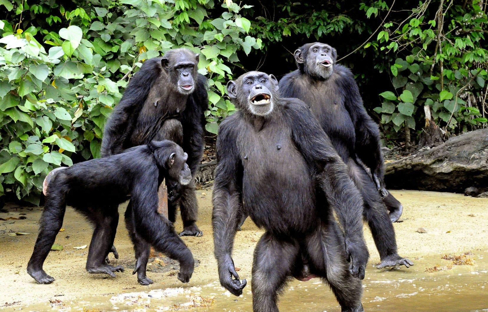 L'humain a vraisemblablement hérité de ses proches ancêtres, les singes, d'une certaine propension à la violence meurtrière envers ses congénères, indique une nouvelle étude.