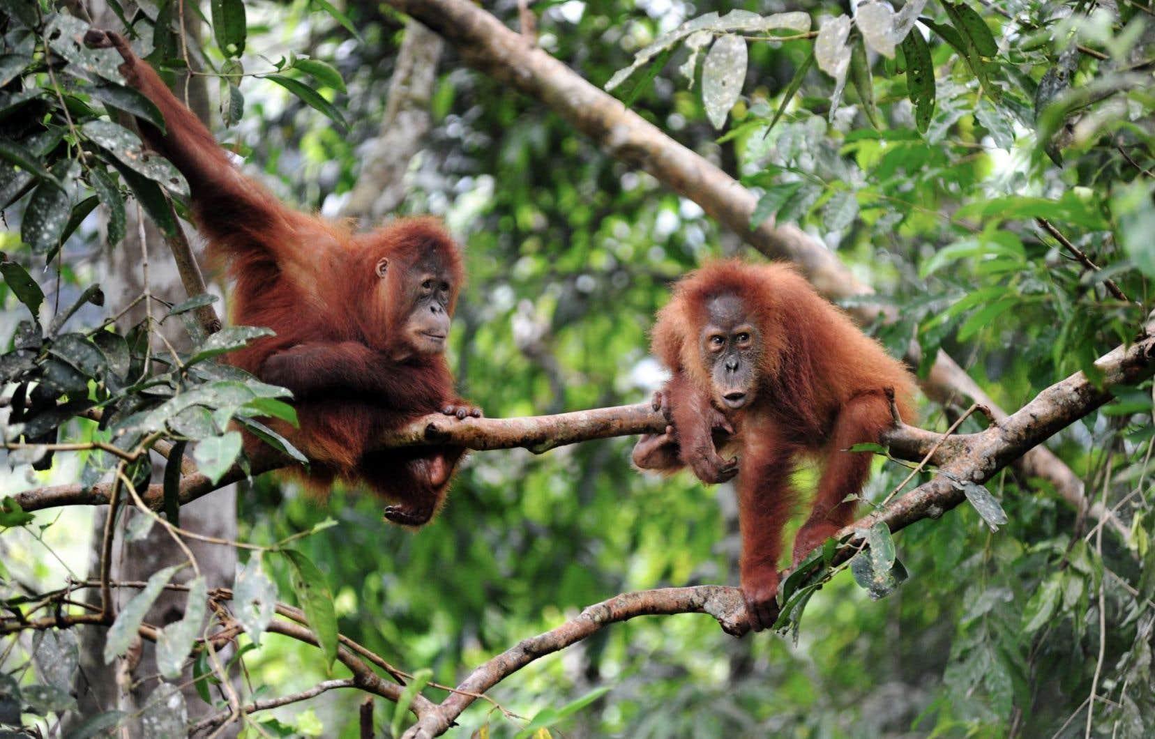 Le professeur Frans de Waal souligne l'importance de garder toujours l'esprit ouvert en ce qui concerne la découverte de capacités des espèces non humaines. D'autant que ces espèces sont en danger d'extinction.