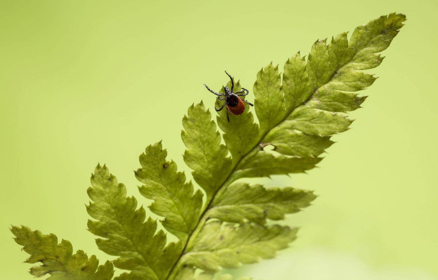 Une tique attachée à la peau prendra de 36 à 48heures pour transmettre la maladie de Lyme à sa victime.