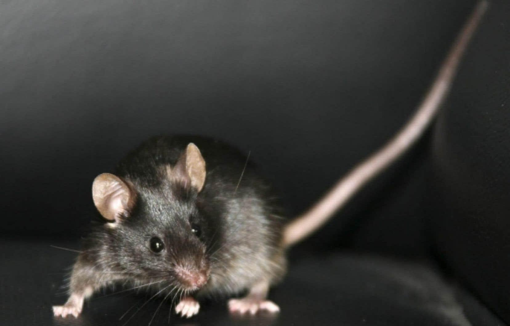 Une souris créée en janvier 2009 par des chercheurs chinois à partir de cellules souches prélevées sur la peau d'une autre souris.