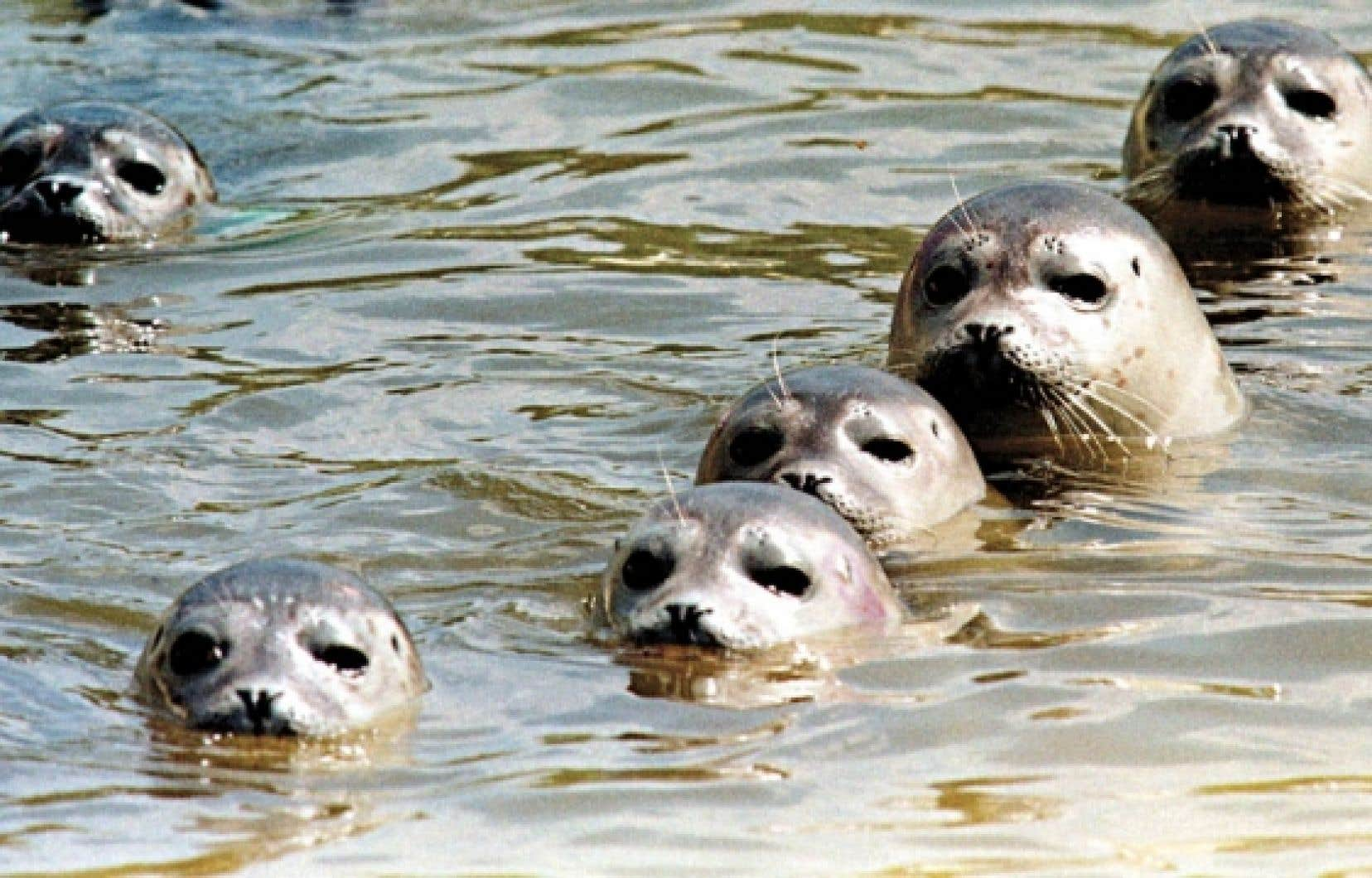 L'absence de glace risque de mettre en jeu la mise bas des phoques femelles.
