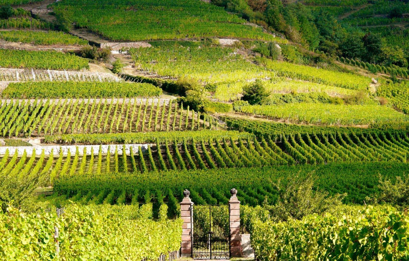 Une partie du grand cru Schlossberg vu du Domaine Weinbach.