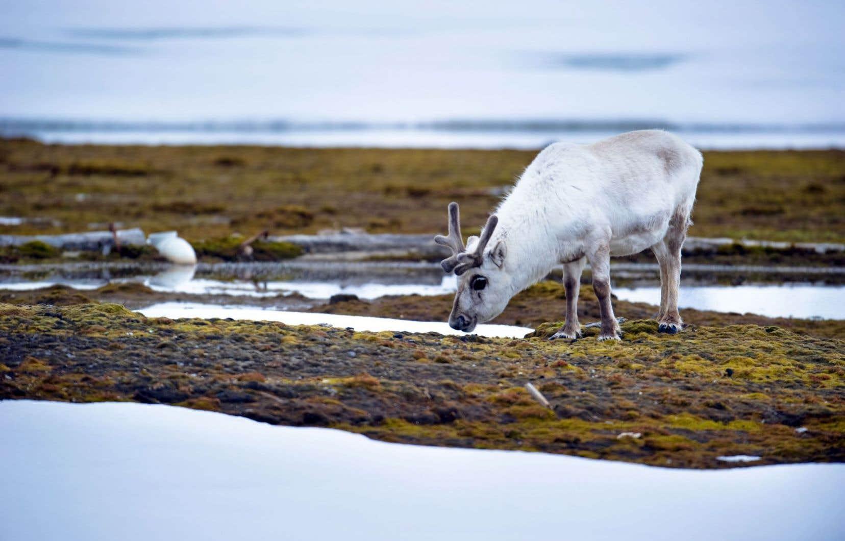 Les chercheurs ont évalué l'influence des rennes qui paissent dans la toundra arctique norvégienne sur le bilan énergétique.