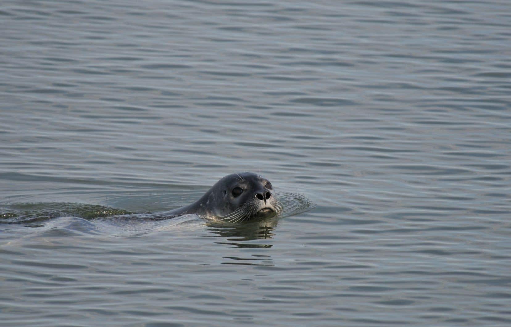L'habitat naturel du phoque commun se situe dans le Saint-Laurent, mais à des centaines de kilomètres en aval de Montréal.