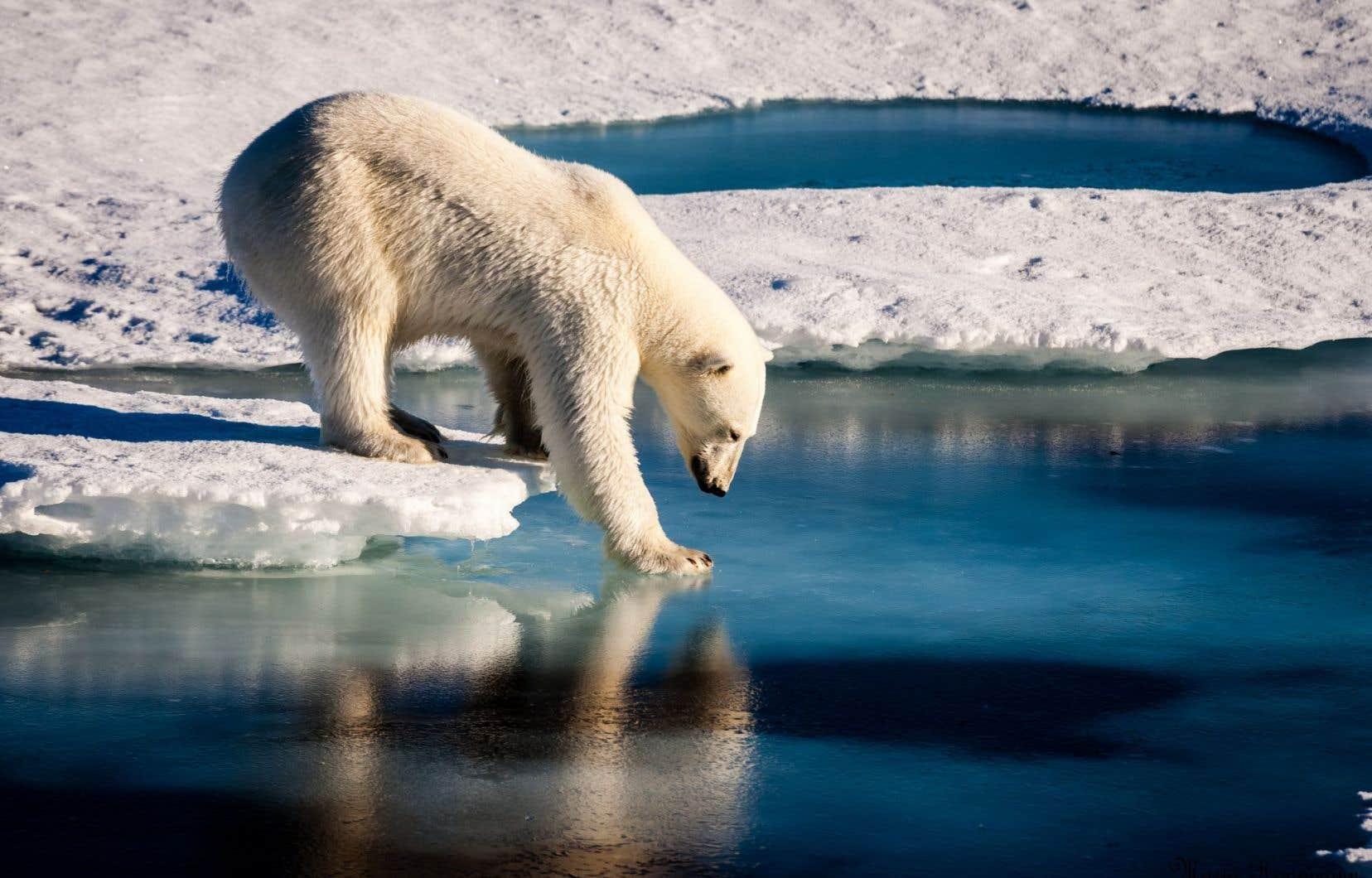 L'ours polaire a été placé sur la liste des espèces menacées en 2008.