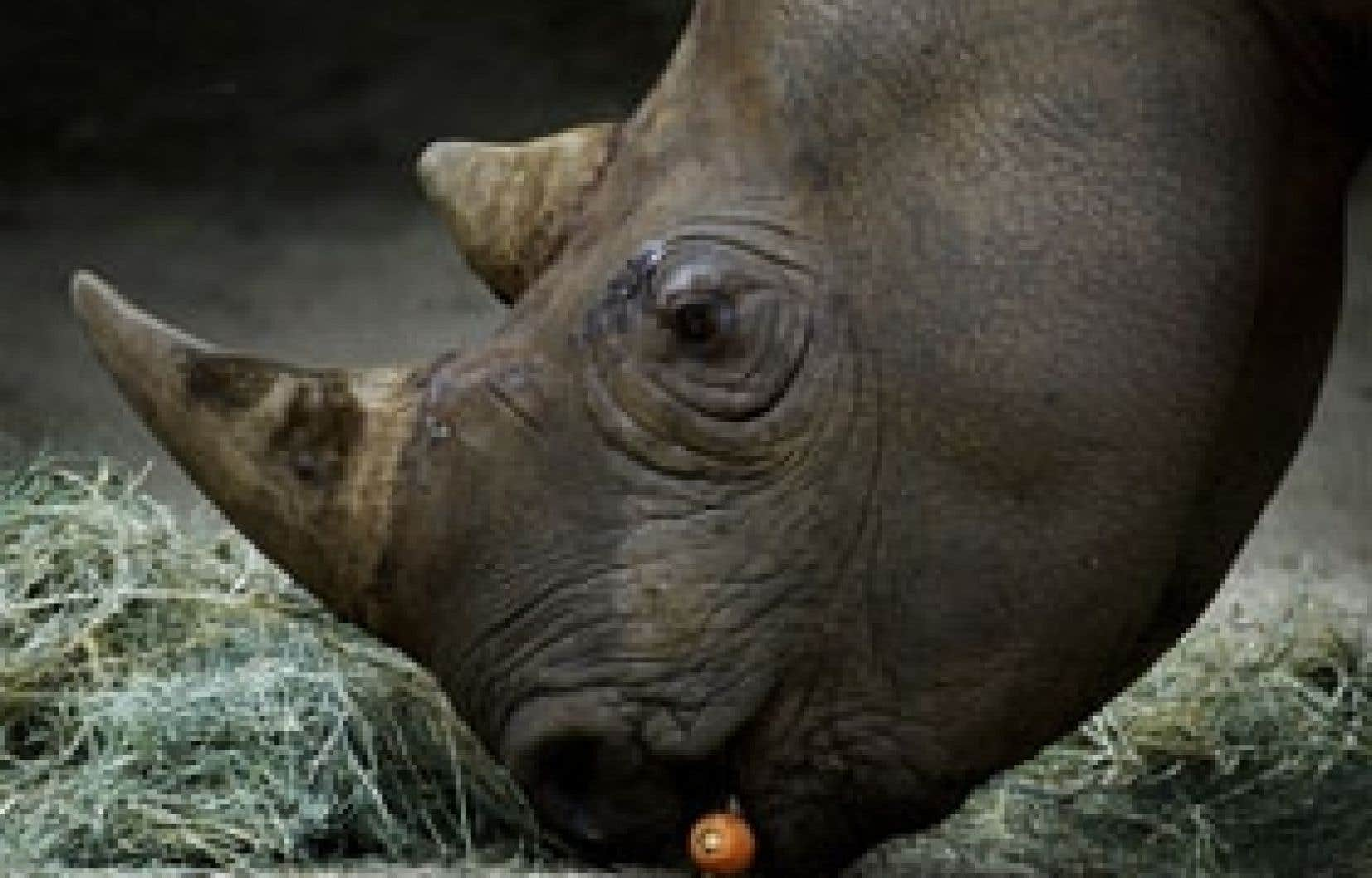 Le nombre de rhinocéros africains est passé en dix ans de 11 000 à 18 500.