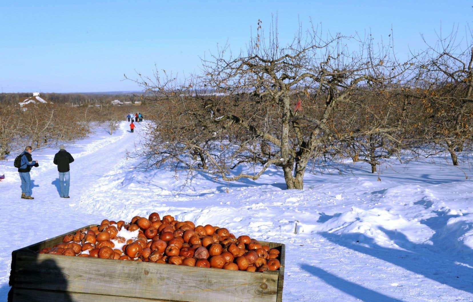 Le domaine Lafrance, dans les Basses-Laurentides, accueille le public pour la cueillette des pommes gelées depuis une dizaine d'années.