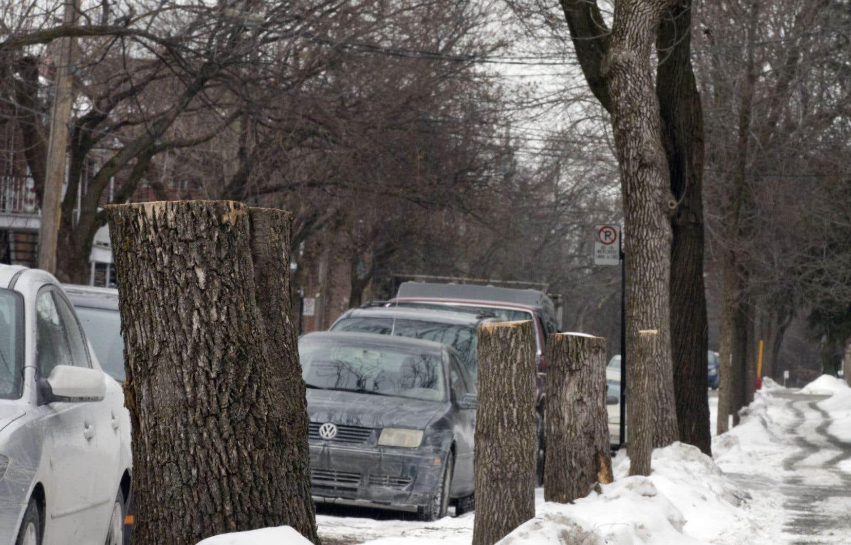À Montréal, certaines rues ont été dégarnies à cause de l'agrile du frêne, un insecte ravageur d'origine asiatique.