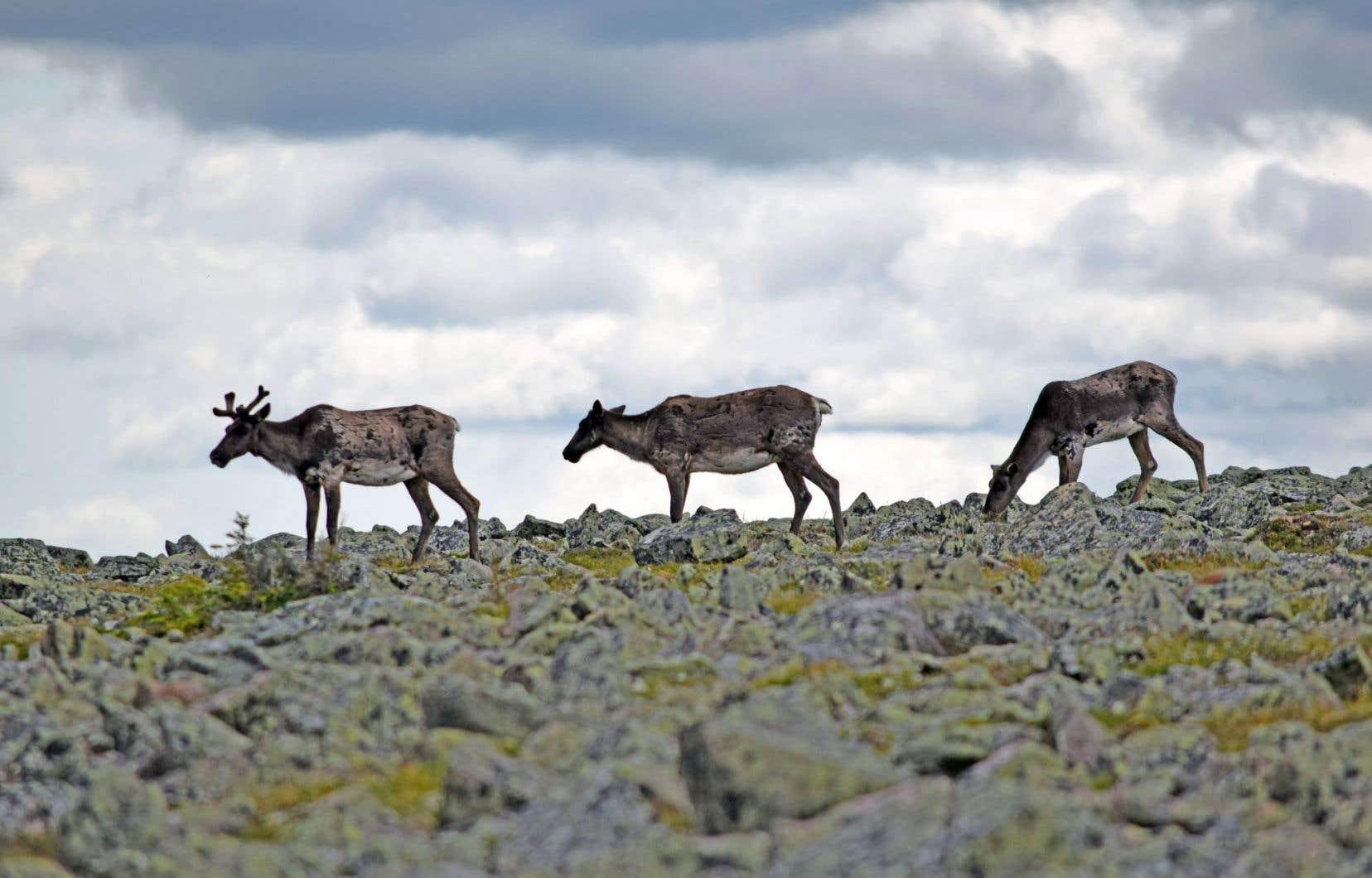 Les permis d'exploration pétrolière omniprésents en Gaspésie bloqueraient l'agrandissement de l'aire protégée du caribou, une espèce qui compte aujourd'hui moins d'une centaine d'individus.