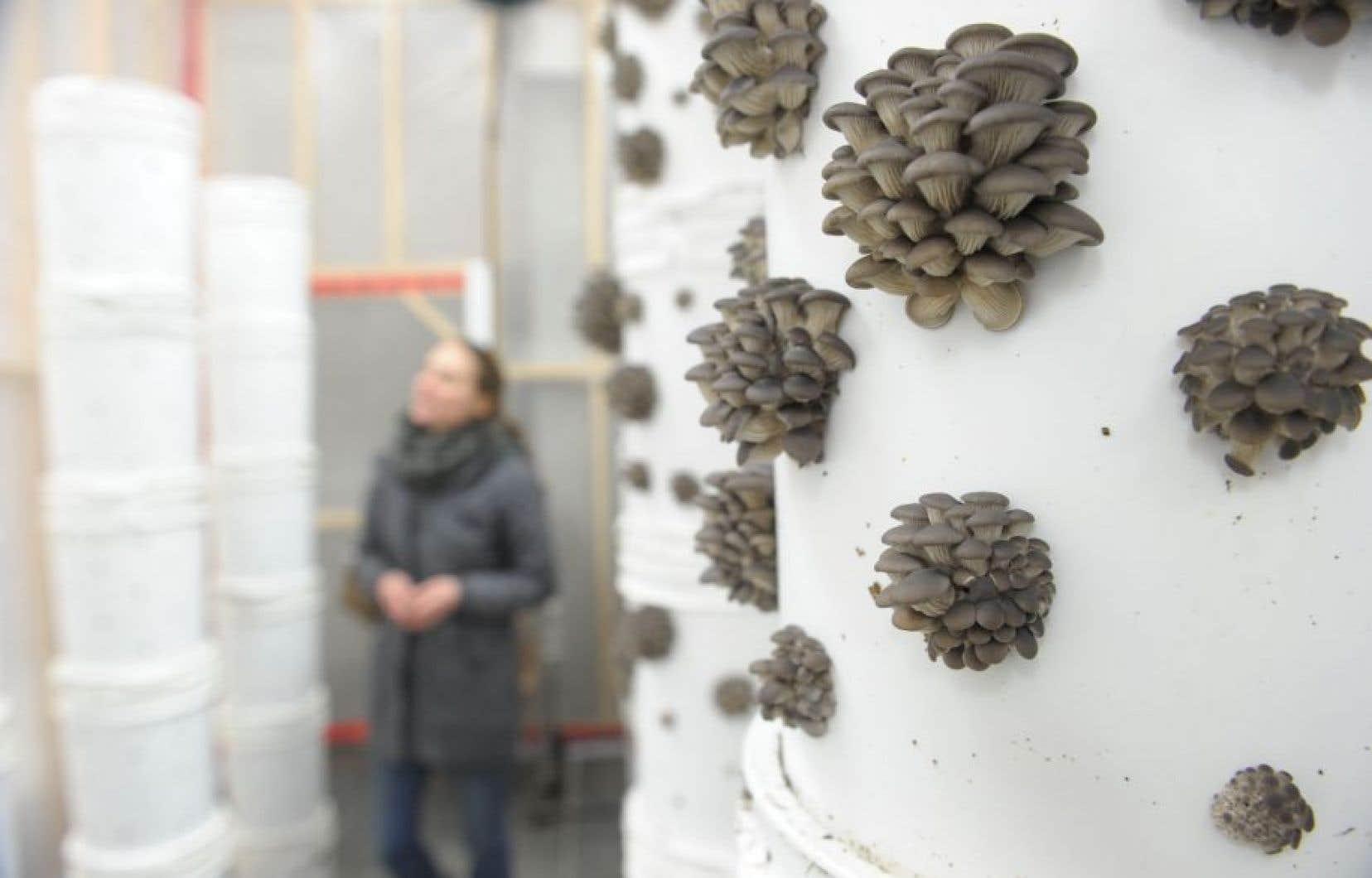 Des dizaines de seaux en plastique percés de trous, empilés en colonnes de plus de deux mètres, servent à guider la croissance des pleurotes.