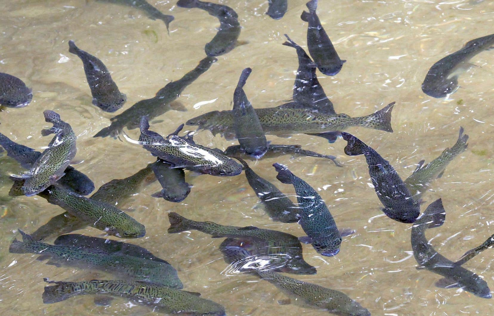 Nourrir les poissons d'élevage avec des poissons pêchés en mer est un non-sens, selon le professeur Pierre Blier de l'Université du Québec à Rimouski.