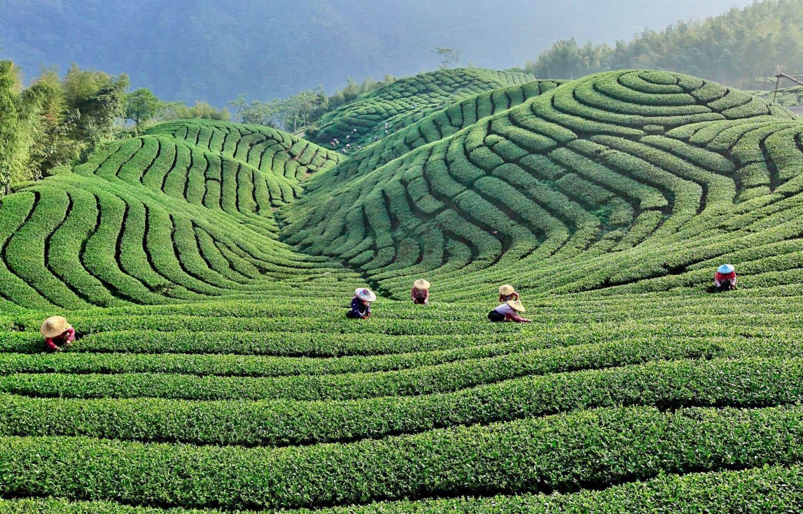 Récolte du thé dans une plantation du comté de Nantou