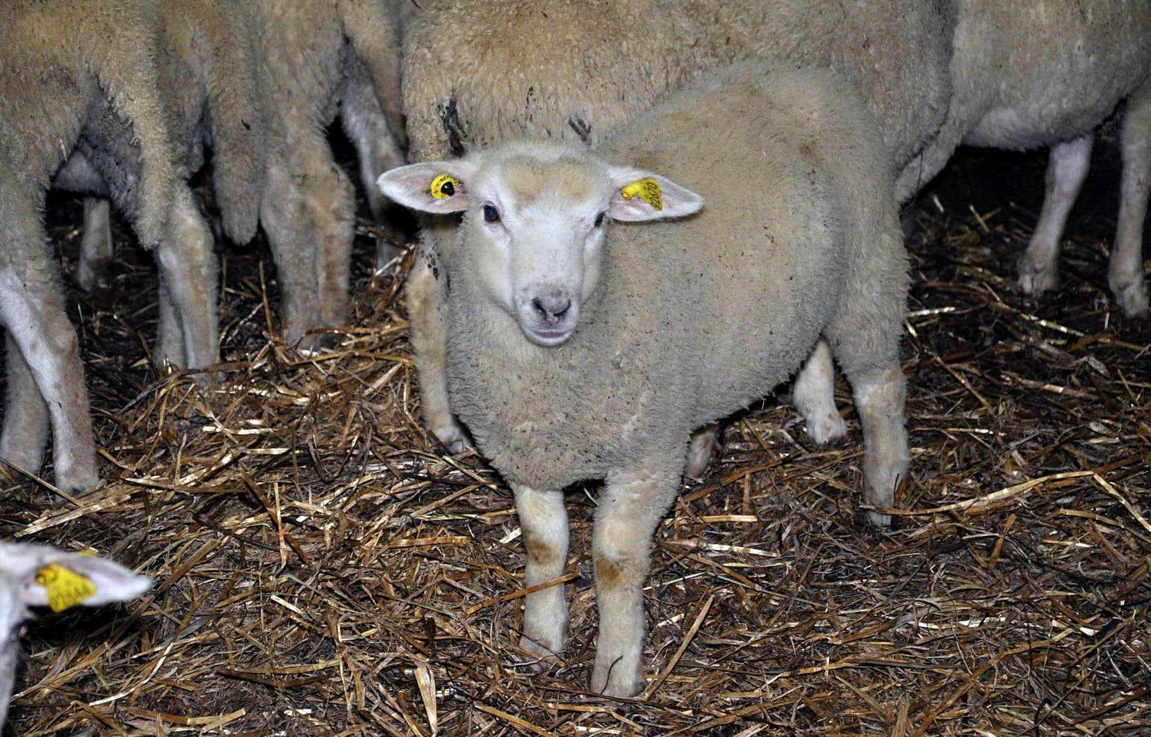 Un bel agneau de Charlevoix chez les Bérubé-Tremblay
