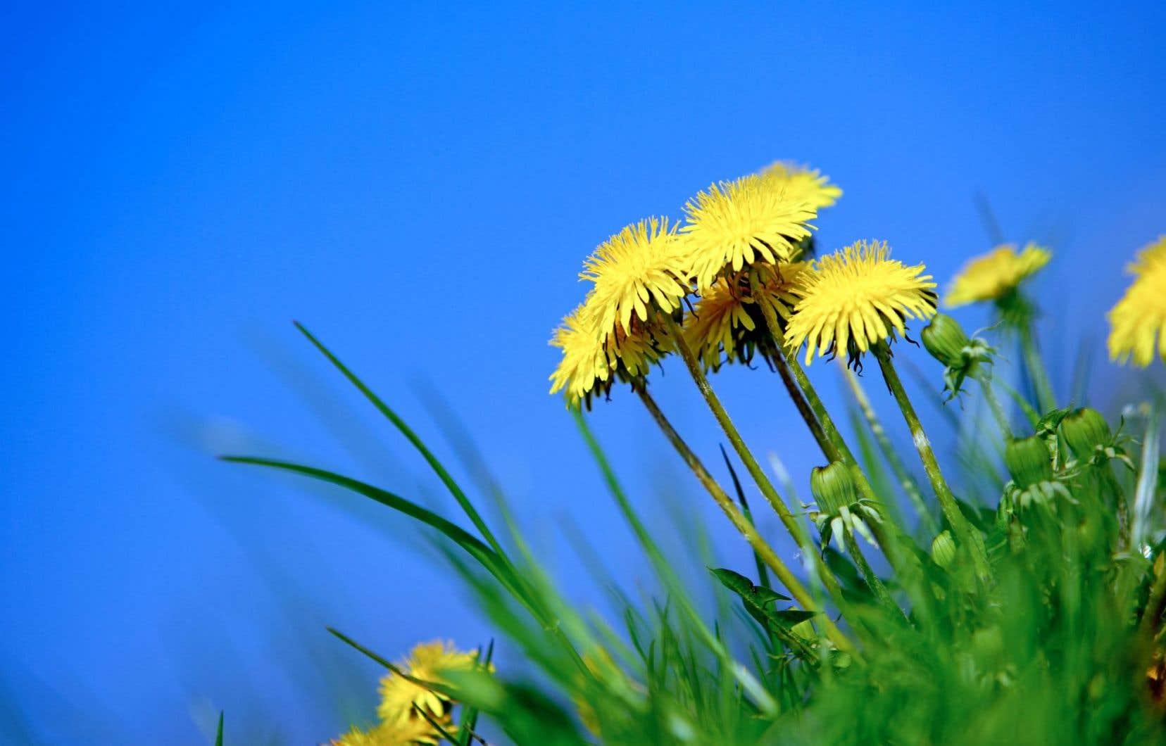 Hubert Reeves a écarté toutes les plantes cultivées de son jardin pour ne répertorier que celles que la nature offre généreusement à la contemplation. Pissenlit dent-de-lion compris.