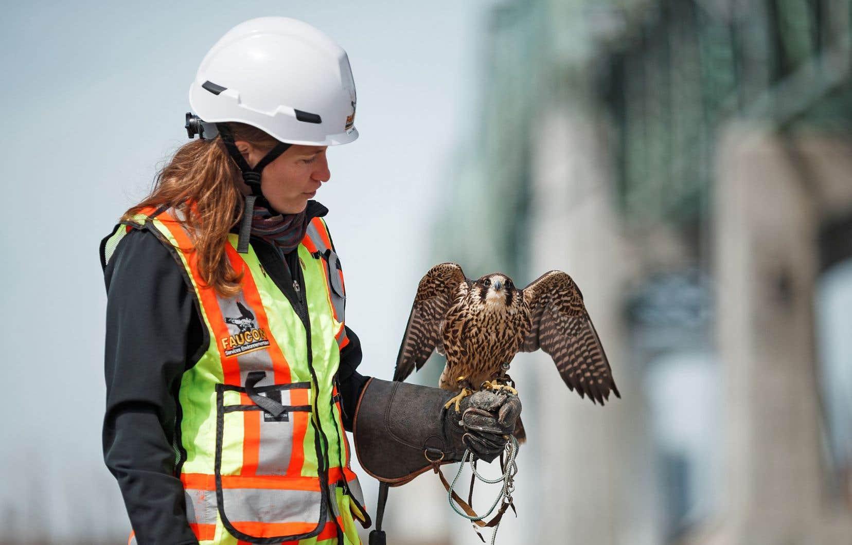Marilou Skelling, directrice des opérations à Services environnementaux Faucon, tient un faucon pèlerin baptisé Jackie.