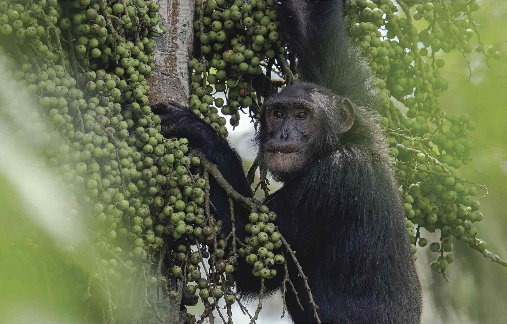 Aragon, un chimpanzé adulte qui est atteint d'une malformation nasale vraisemblablement causée par les pesticides.