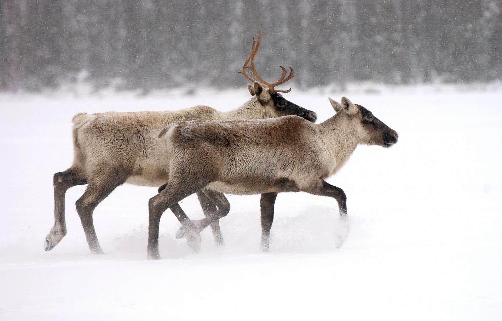 Le chemin forestier de la compagnie forestière EACOM doit empiéter sur l'habitat des caribous de Val-d'Or.