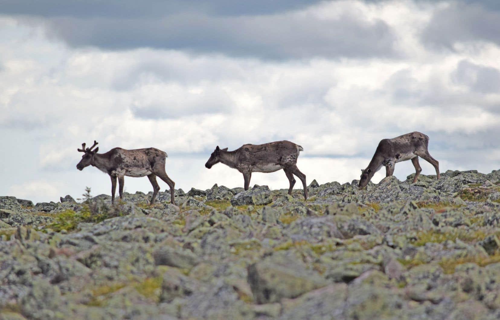 Le rapport du BAPE souligne qu'une étude de viabilité a été réalisée et publiée pour les caribous du Parc national de la Gaspésie (notre photo).