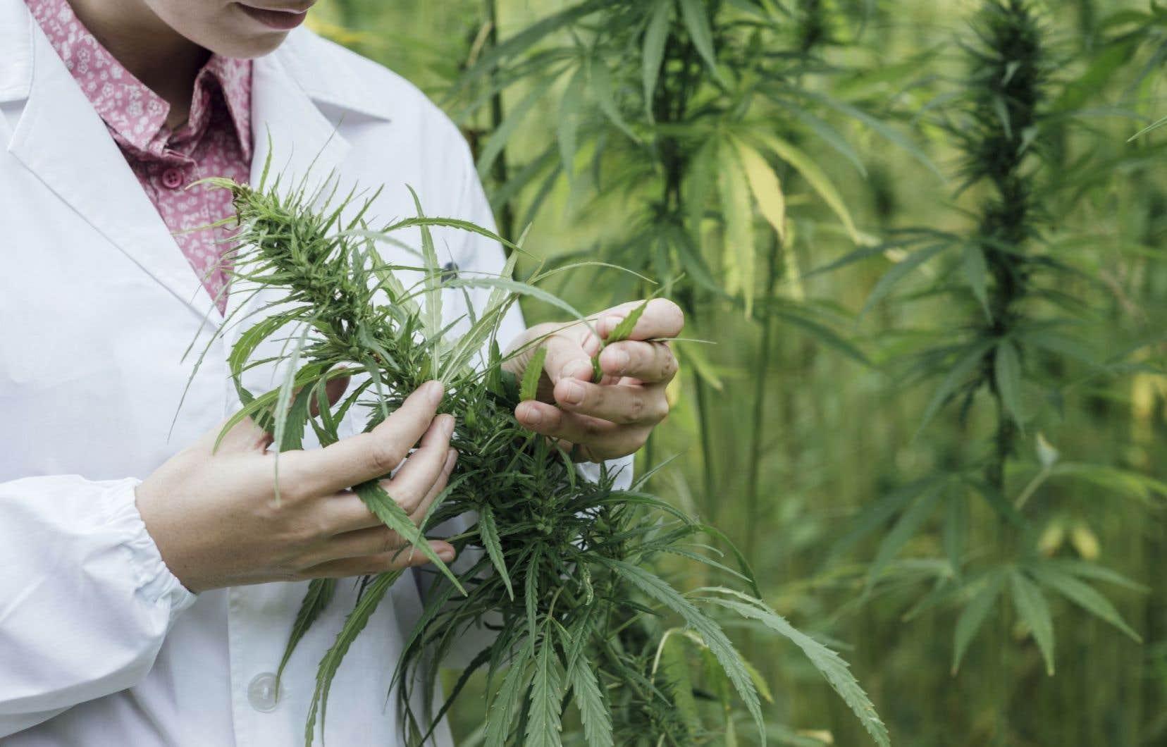 Ottawa a annoncé son intention de légaliser le cannabis dès l'an prochain.