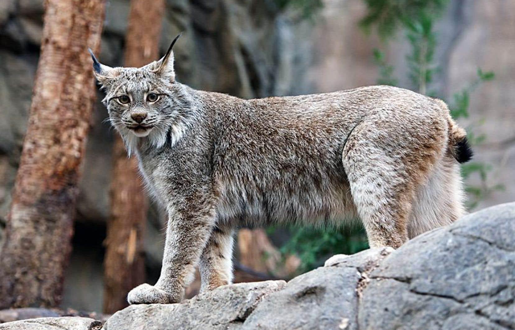 Devant des comportements compulsifs du lynx en captivité au Biodôme de Montréal, les vétérinaires ont modifié son environnement et les procédés pour lui servir ses repas.