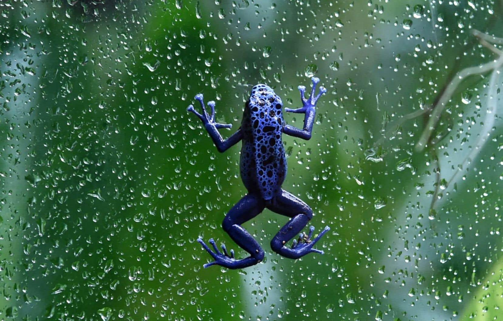 Quelque 6700 espèces de grenouilles existent aujourd'hui.
