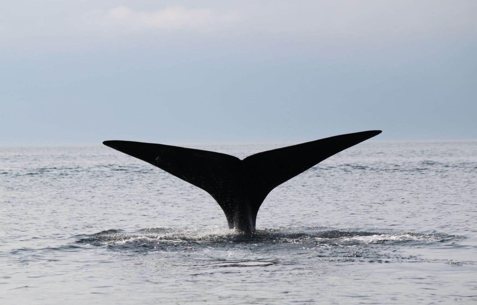 Pêches et Océans Canada a confirmé que les interventions pour libérer des baleines noires empêtrées dans des engins de pêche sont suspendues pour une durée indéterminée.