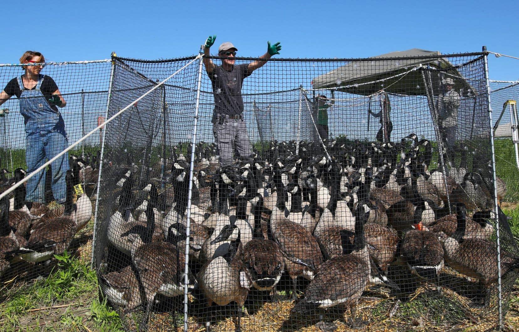 Quelque 380 bernaches ont été capturées dans les enclos pour l'opération de baguage sur les îles de Varennes.