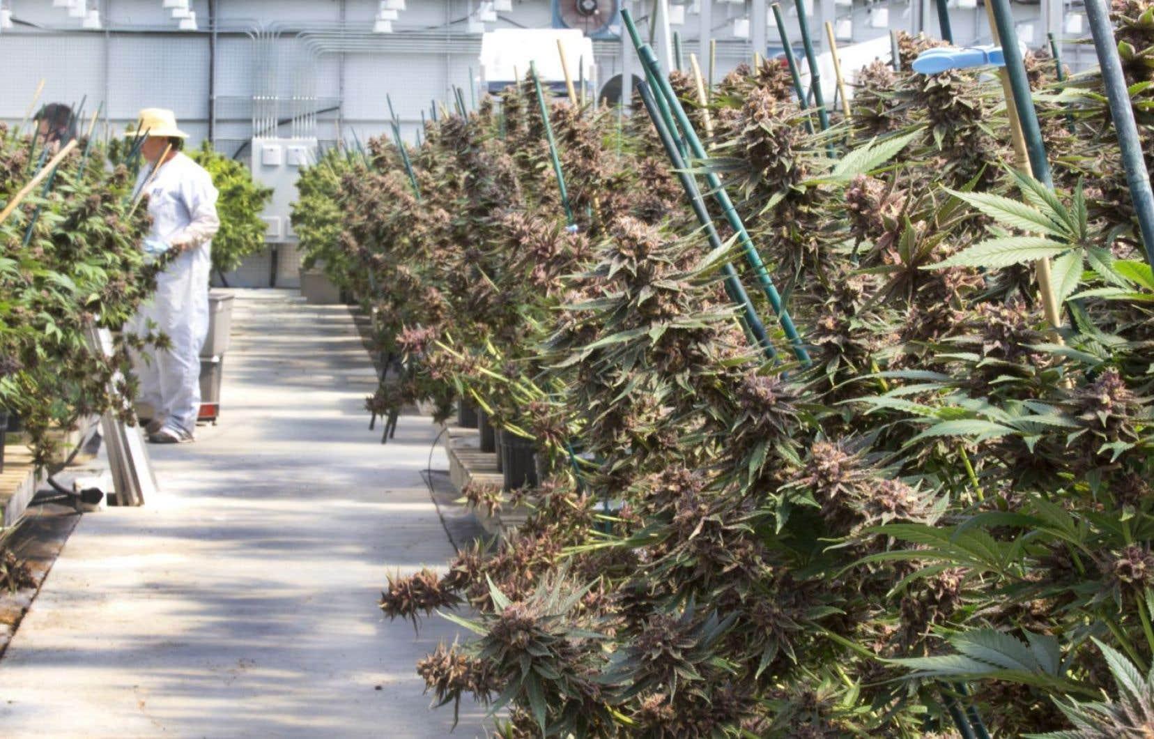 Les producteurs en serre du Québec désirent obtenir une période de planification de la mise en marché de la marijuana.