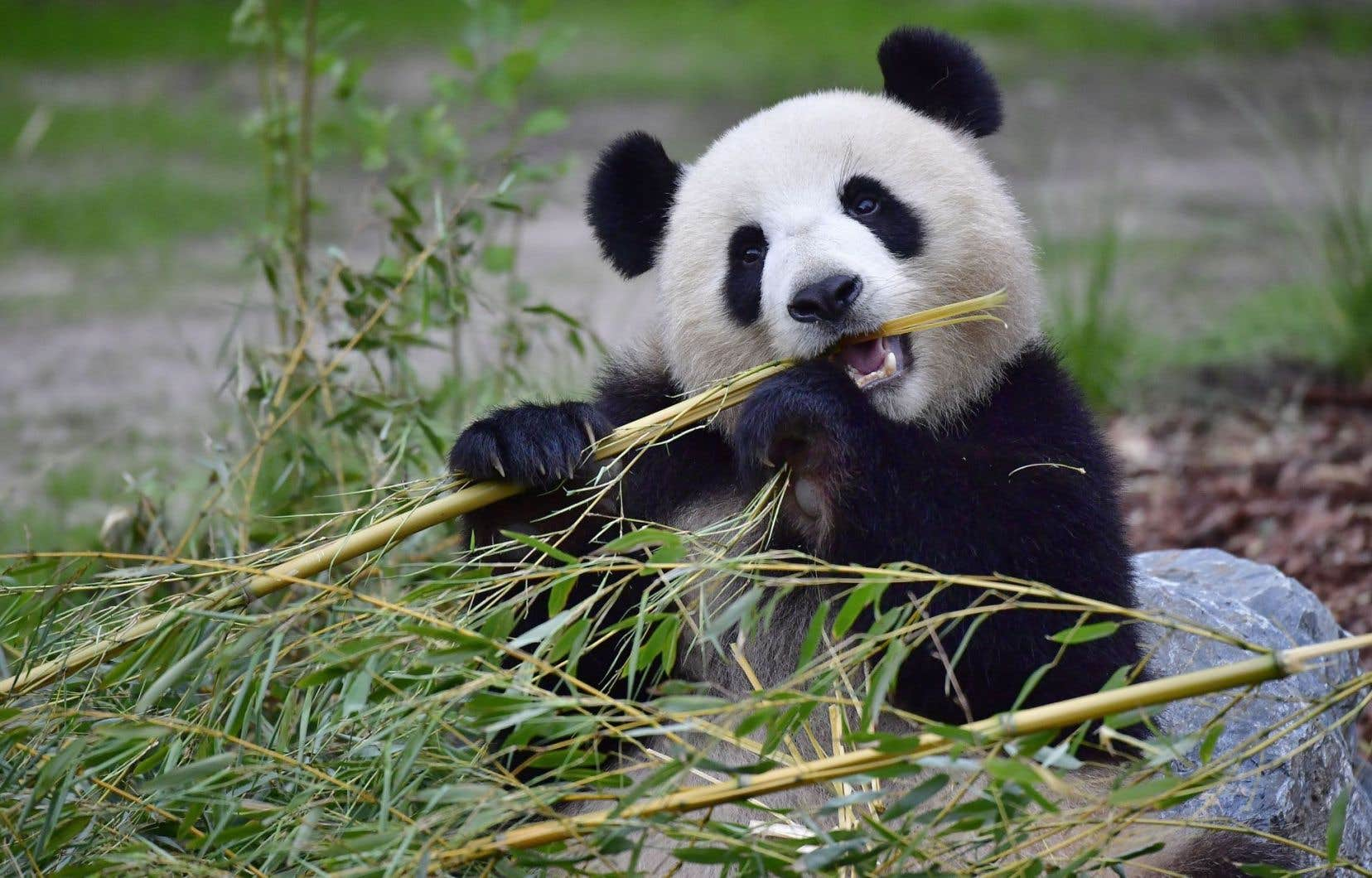 le panda g ant en meilleure forme mais toujours menac le devoir. Black Bedroom Furniture Sets. Home Design Ideas