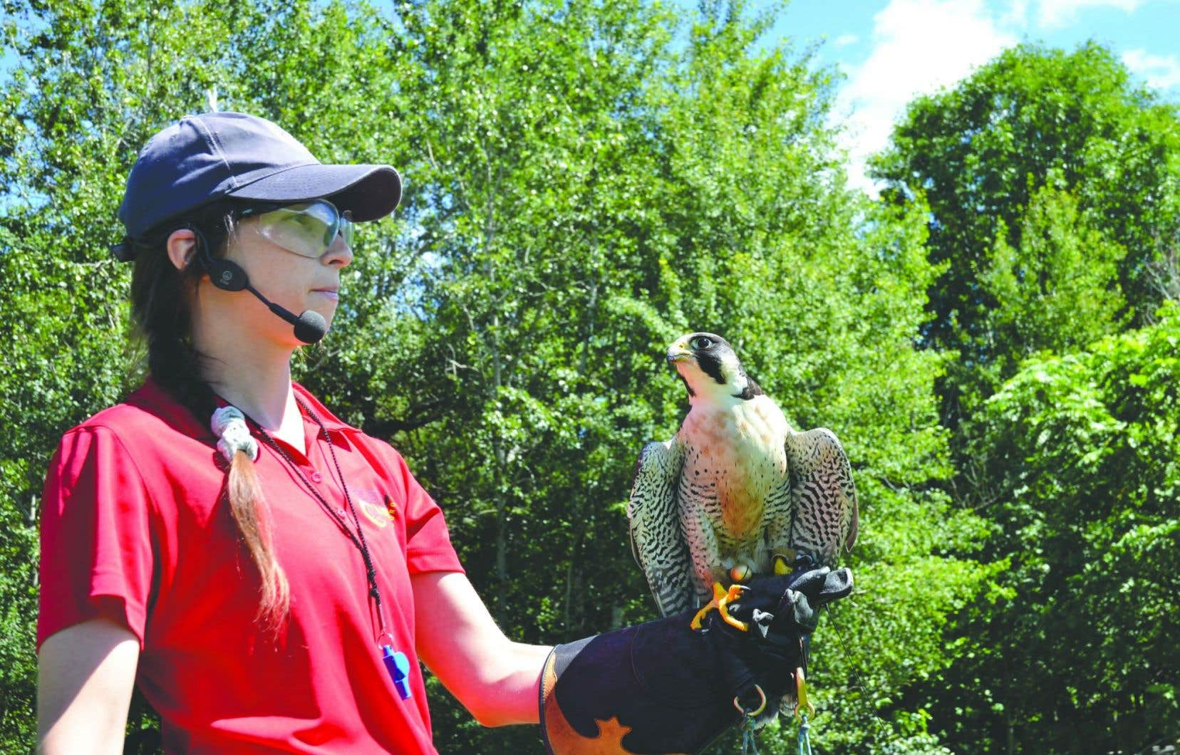 Le faucon pèlerin, réputé le plus rapide au monde en piqué, effectue des va-et-vient au-dessus du public sidéré, frôle les têtes, puis mord à l'hameçon du leurre que lui présente la naturaliste.