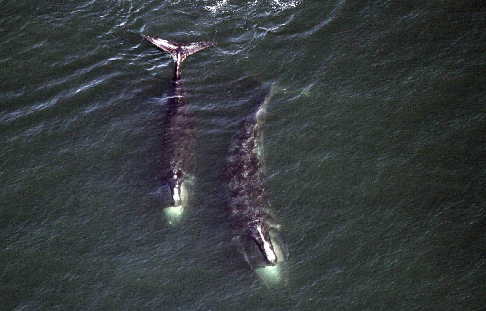 La population de baleines noires ne compte plus que 500 individus à travers le monde.