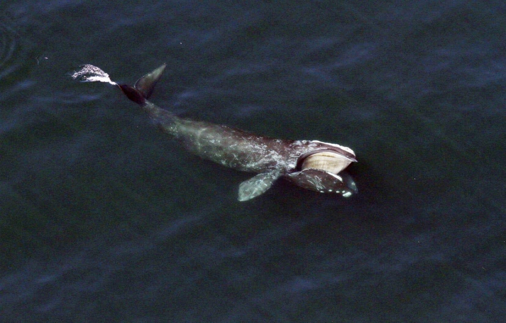 Une baleine noire se nourrit près de la surface au large de Cape Cod, dans le Massachussetts.