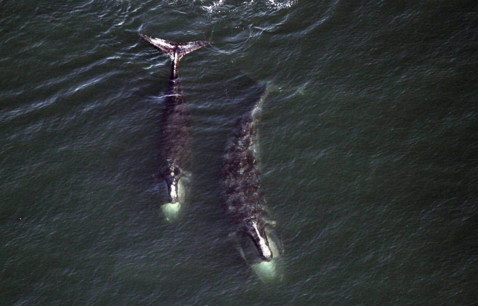 On estime à environ 500 la population actuelle de baleines noires dans le monde, et l'espèce est menacée d'extinction.