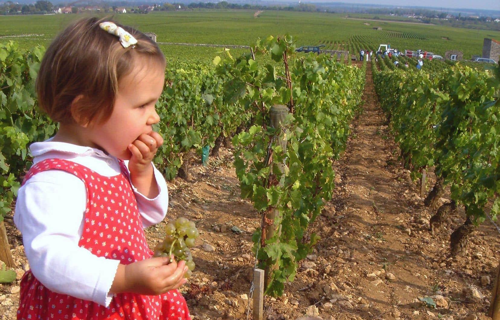 Une fillette grappille quelques baies de chardonnay (en Montrachet).
