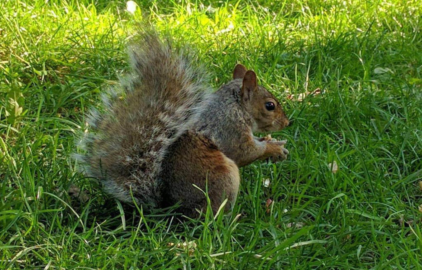 Selon le directeur de la Fédération québécoise des chasseurs et pêcheurs, Alain Cossette, «la viande d'écureuil est délicieuse».