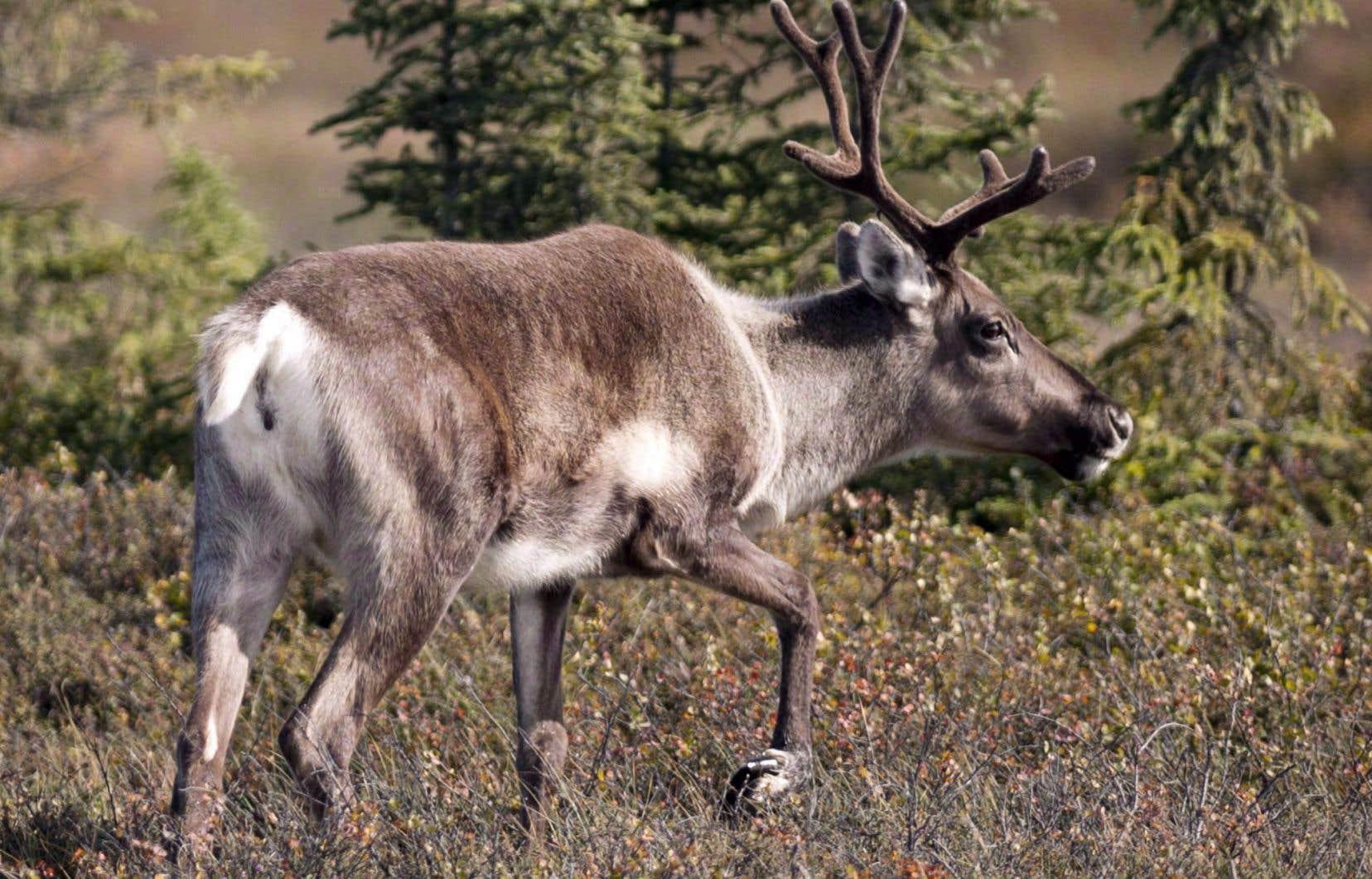 Les provinces, dont le Québec, n'en font pas assez pour freiner le déclin continu du caribou boréal.