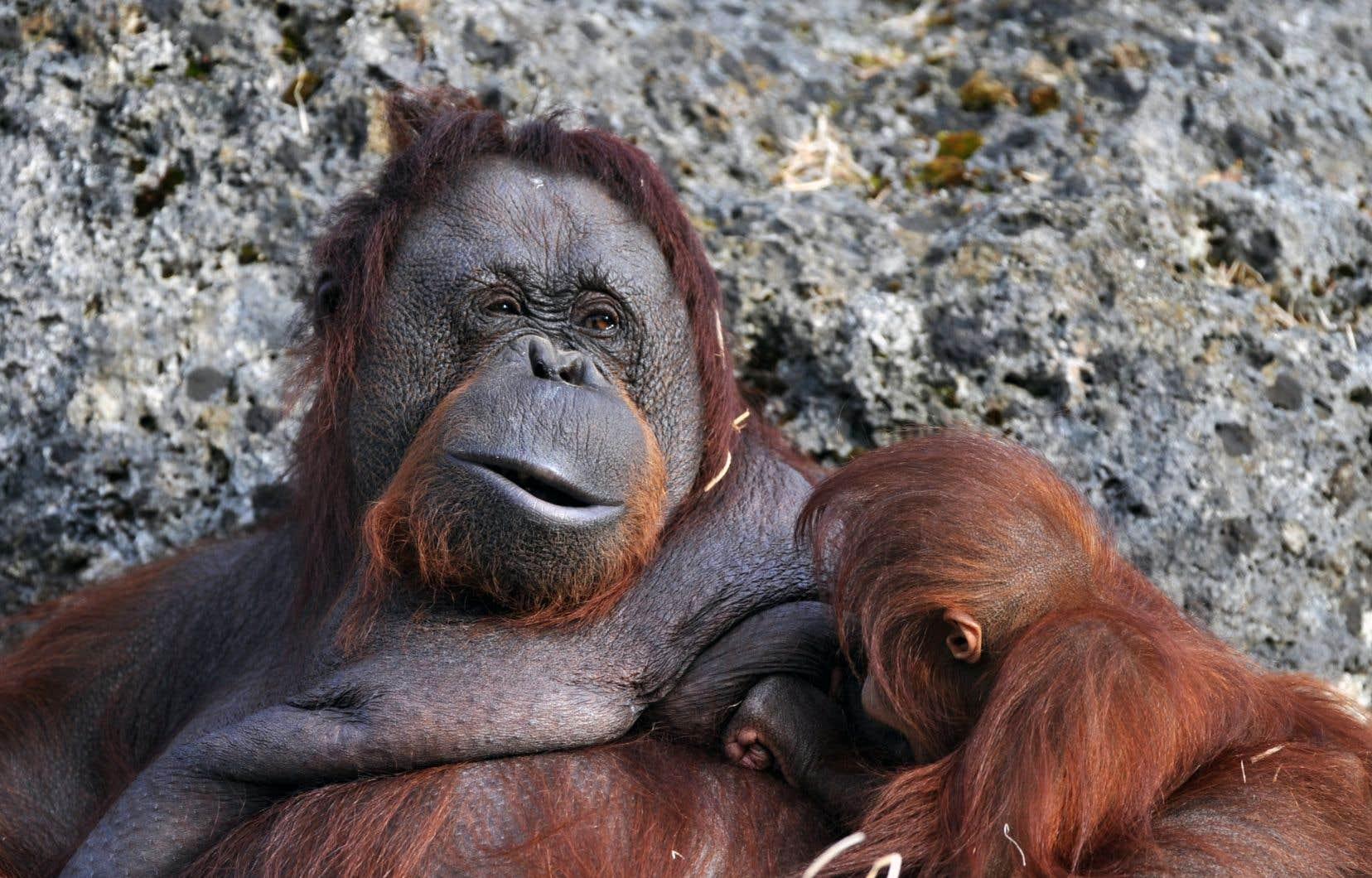 Les orangs-outans mesurent en moyenne de 1,10 à 1,40 m pour un poids de 40 à 80 kg. Ils peuvent vivre de 30 à 40 ans.