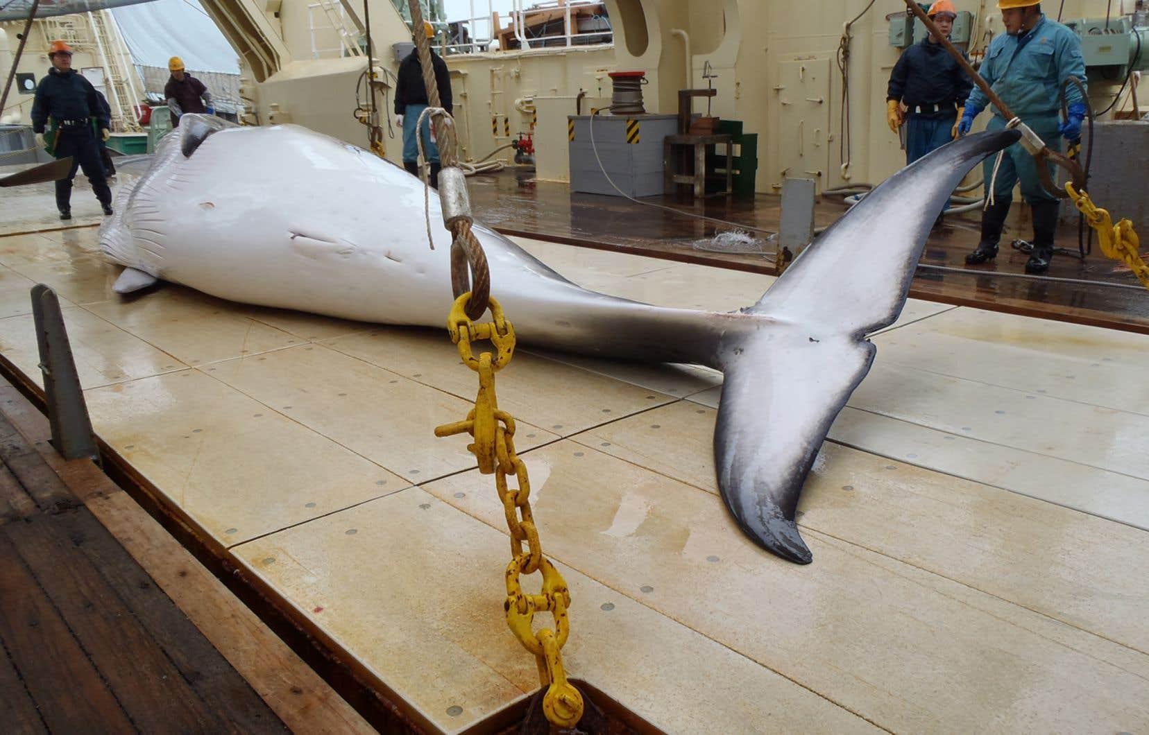 Les baleiniers nippons se sont heurtés à plusieurs reprises en haute mer à des organisations de défense des droits des animaux.