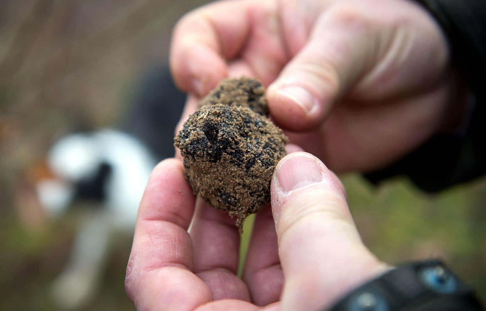 Cette première récolte a été conservée pour la postérité. Mais à l'avenir, la production sera distribuée aux restaurateurs du pays.