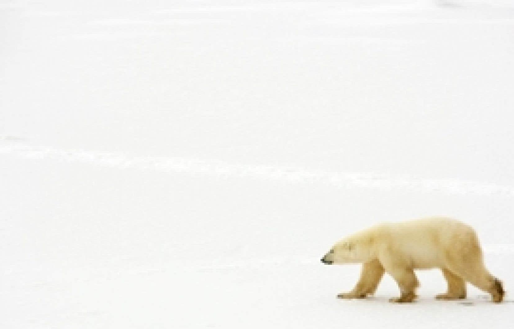 La population d'ours polaires de la région Baffin-Groenland a subi un recul de près de 30 % en une décennie, ce qui est énorme et pose un problème de survie du troupeau compte tenu du faible taux de reproduction des ours et de leur grande longévi