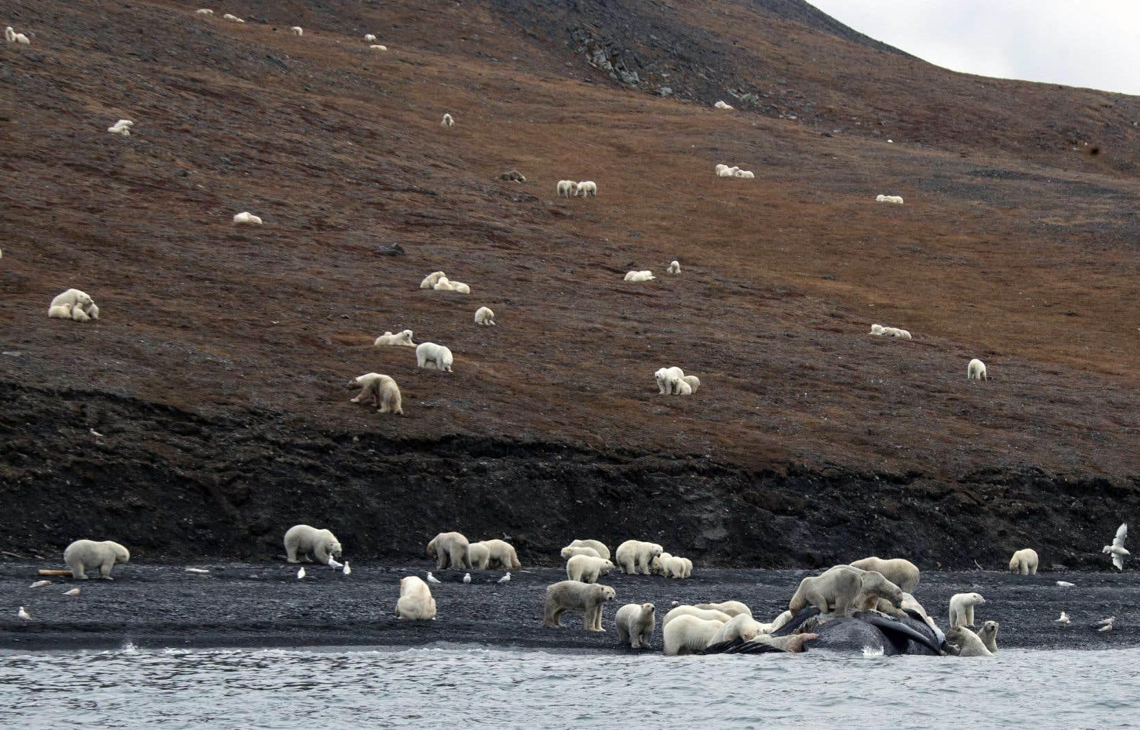 Les ours polaires s'étaient rassemblés au bord de l'eau pour dépecer la carcasse d'une baleine échouée sur la rive.